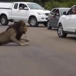 [VIDEO] Tourists narrowly escape attack by lions in Kruger Park