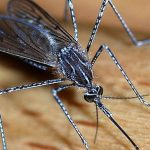 'Wild dagga' as good as DEET for repelling mosquitos, says Durban Tech team